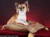 chihuahua-longhaired-Aza-015