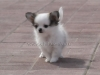 chihuahua-longhaired-Caus-004