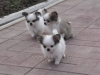 chihuahua-longhaired-Caus-005