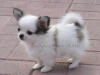 chihuahua-longhaired-Caus-007