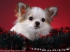 chihuahua-longhaired-Caus-008