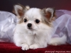 chihuahua-longhaired-Caus-009