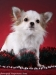 chihuahua-longhaired-Caus-014