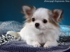 chihuahua-longhaired-Caus-016