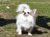 chihuahua-longhaired-Caus-019