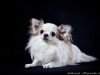chihuahua-longhaired-Caus-020