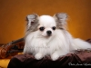 chihuahua-longhaired-Caus-022
