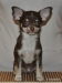 chocolate-chihuahua-smooth-coat-Chucky-002