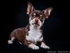 chocolate-chihuahua-smooth-coat-Chucky-005