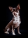 chocolate-chihuahua-smooth-coat-Chucky-006
