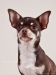 chocolate-chihuahua-smooth-coat-Chucky-010