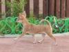 tan-chihuahua-gladkosherstniy-Dasha-009