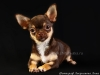 chocolate-chihuahua-smooth-coat-Eva-009
