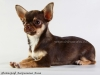 chocolate-chihuahua-smooth-coat-Eva-021