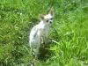white-chihuahua-longhaired-Ksunya-007