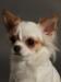 white-chihuahua-longhaired-Ksunya-013