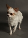 white-chihuahua-longhaired-Ksunya-014