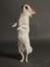 white-chihuahua-longhaired-Ksunya-018