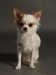 white-chihuahua-longhaired-Ksunya-019