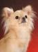 chihuahua-longhaired-Laska-005