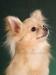 chihuahua-longhaired-Laska-008