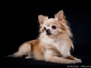 chihuahua-longhaired-Laska-016