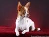 white-red-chihuahua-smooth-coat-Lusi-010