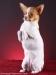 white-red-chihuahua-smooth-coat-Lusi-011