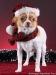 white-red-chihuahua-smooth-coat-Lusi-012