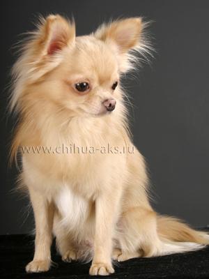 chihuahua-longhaired-Laska-000
